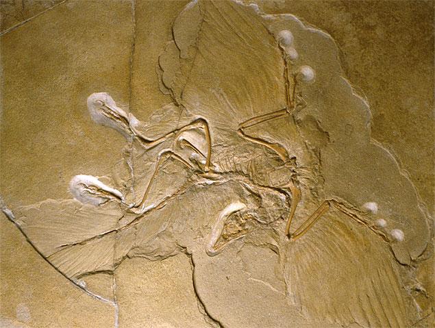 Fóssil de arqueoptérix, metade-ave, metade-dinossauro. Ele viveu há 150 milhões de anos.