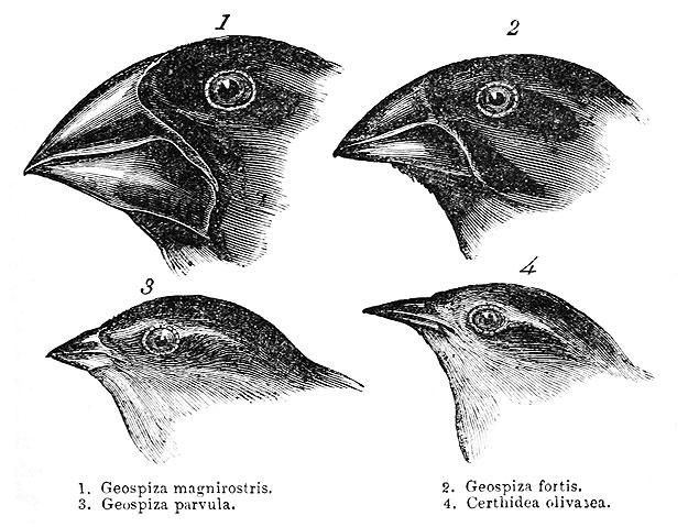 Os tentilhões de Darwin, observados nas ilhas Galápagos. Seleção natural em funcionamento.